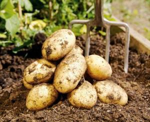 potatis-1