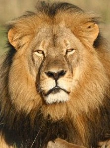 635738838579827895-AP-Zimbabwe-Lion-Killed-001
